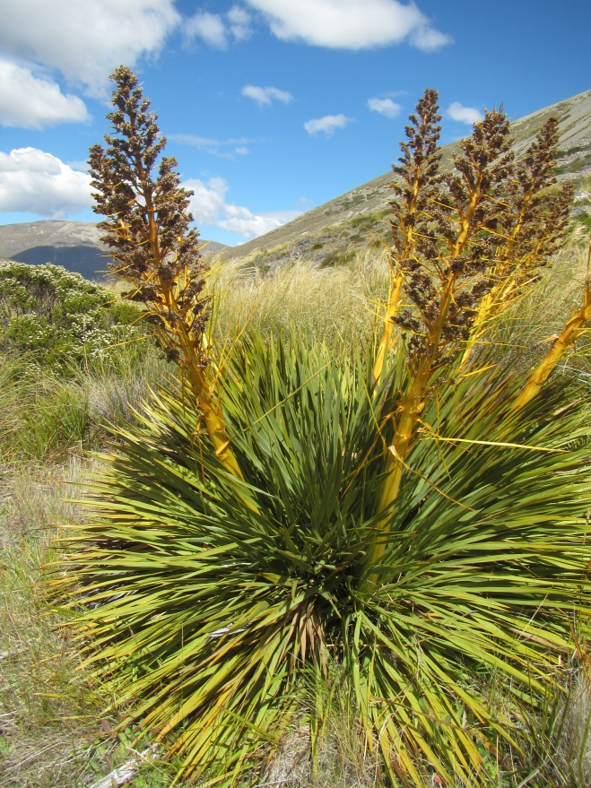 A healthy specimen of Spiky Spaniard (Spear Grass)